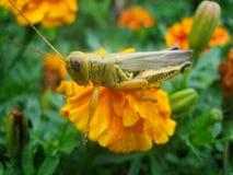 Grass Hopper on Orange Flower Royalty Free Stock Photo