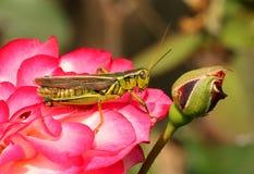 Grass hopper on rose Stock Image