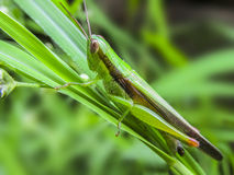 Grass hopper Stock Image