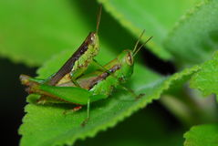 Grass hoppers Stock Image