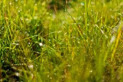 Grass. Illuminated wet green juicy grass Royalty Free Stock Image