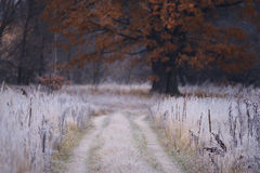 Free Grass In The Frost And Yellow Big Oak Stock Images - 80206554