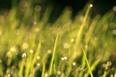Grass inflorescences with dew drops Stock Image