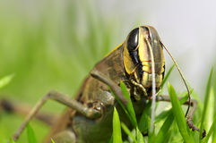 Grass invader. Fresh green grass invaded by huge grasshopper Royalty Free Stock Photo