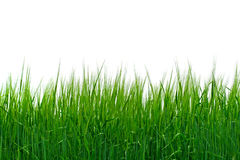 Grass isolated. Fresh grass isolated on the white royalty free stock photo