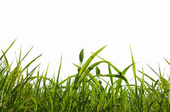 Grass isolated. On white background stock image