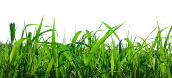 Grass isolated Stock Image