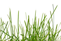 Grass isolated. Grass blade on white background Royalty Free Stock Photography