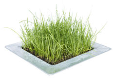 Grass isolated on white Royalty Free Stock Images