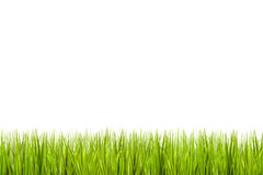 Grass isolated on a white background Royalty Free Stock Photo