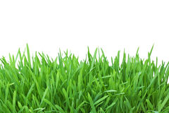 Grass isolated on white background Royalty Free Stock Photos