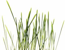 Grass isolated on white - macro. Photo of Grass isolated on White stock image