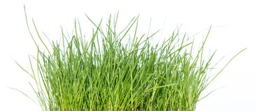 Grass isolated on white (side view) Royalty Free Stock Photo