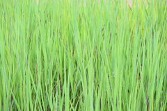 Grass, just grass Royalty Free Stock Photo