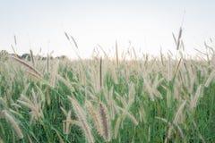 Grass kwiatu tło Fotografia Stock
