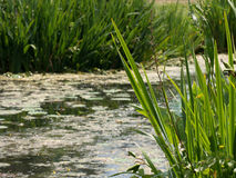 Grass on a lake. Green reed in a small lake with full of water-lilies stock images