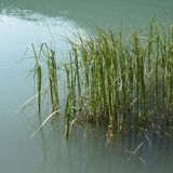 Grass in lake Stock Images