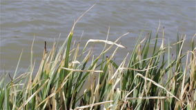 Grass on the lake stock video footage