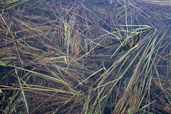 Grass in the lake under water. Reeds. Plants in the water. The water is transparent Stock Image