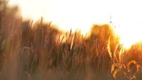 Grass landscape in the wonderful sunset light stock video