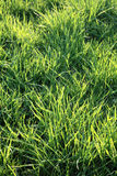 Grass lawn Royalty Free Stock Photos