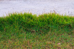 The grass background green. Royalty Free Stock Images