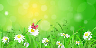 Grass lawn with chamomile and sunshine blur effect background Stock Photos