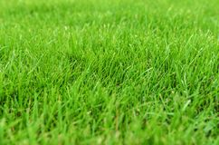 Grass on the lawn. Royalty Free Stock Photography