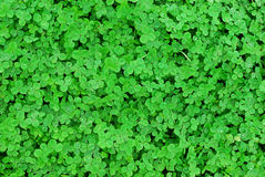 grass lawn of clovers Stock Photo