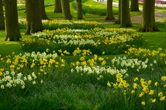 Grass lawn with daffodils in spring garden Royalty Free Stock Images