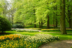 Grass lawn with daffodils in spring garden Stock Image