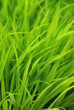 Grass lawn detail Royalty Free Stock Image