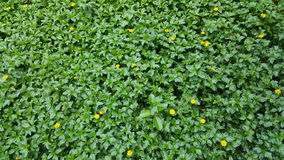 Grass lawn detail with yellow flowers. Green grass lawn detail close up with yellow flowers royalty free stock images