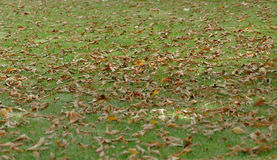 Grass lawn with fallen leaves Royalty Free Stock Photo