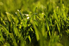 Grass, lawn Royalty Free Stock Images