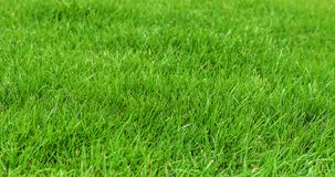 Grass on the lawn. Royalty Free Stock Images