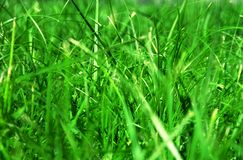 Grass on the lawn. Sedge-grass in the spring on the lawn royalty free stock image