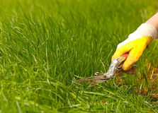 Grass lawn trimming, garden shear and yellow glove Stock Images