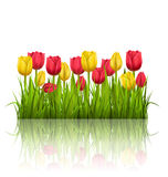 Grass lawn with yellow and red tulips and reflection on white. F Royalty Free Stock Images