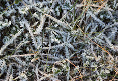 The grass layered with ice crystals in winter time Royalty Free Stock Image