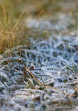 The grass layered with ice crystals in winter time Royalty Free Stock Photography