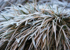 The grass layered with ice crystals in winter time Royalty Free Stock Photo