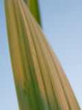 Grass leaf Royalty Free Stock Photo