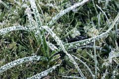 Grass leafs covered with snow Royalty Free Stock Images