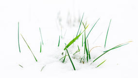 Grass leafs sticking out from snowy meadow Stock Images