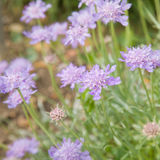 Grass-leaved scabious Stock Images