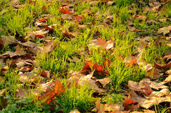 Grass and Leaves Royalty Free Stock Image