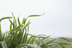 Grass leaves against sky. Close up of grass leaves covered with waterdrops against sky stock photos