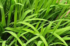 Grass leaves. Royalty Free Stock Image