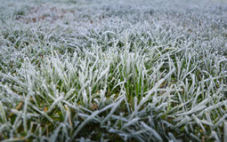 Grass. Leaves of grass in the frosty morning Stock Image